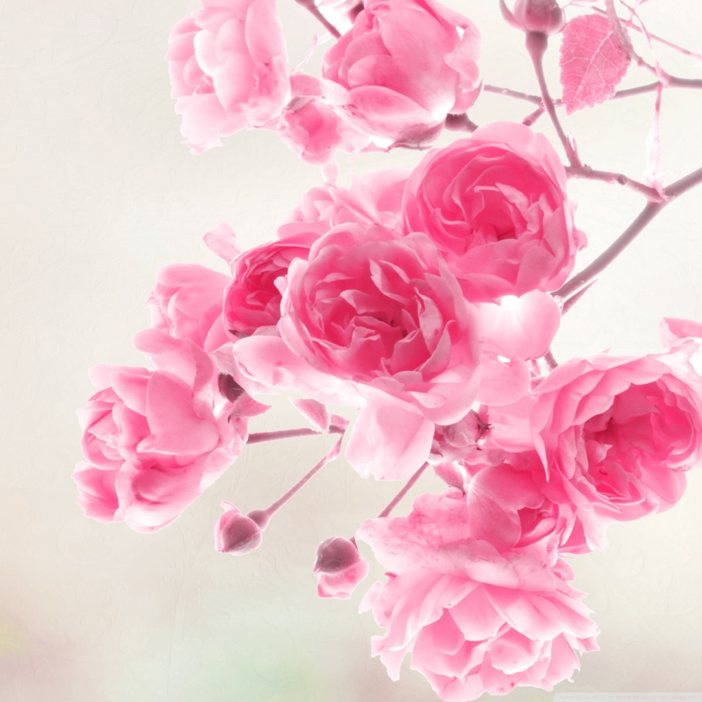 pink_roses_flowers-wallpaper-1024x1024