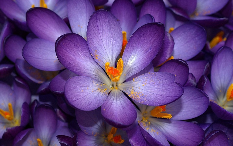 purple-flowers-images-and-wallpapers-7