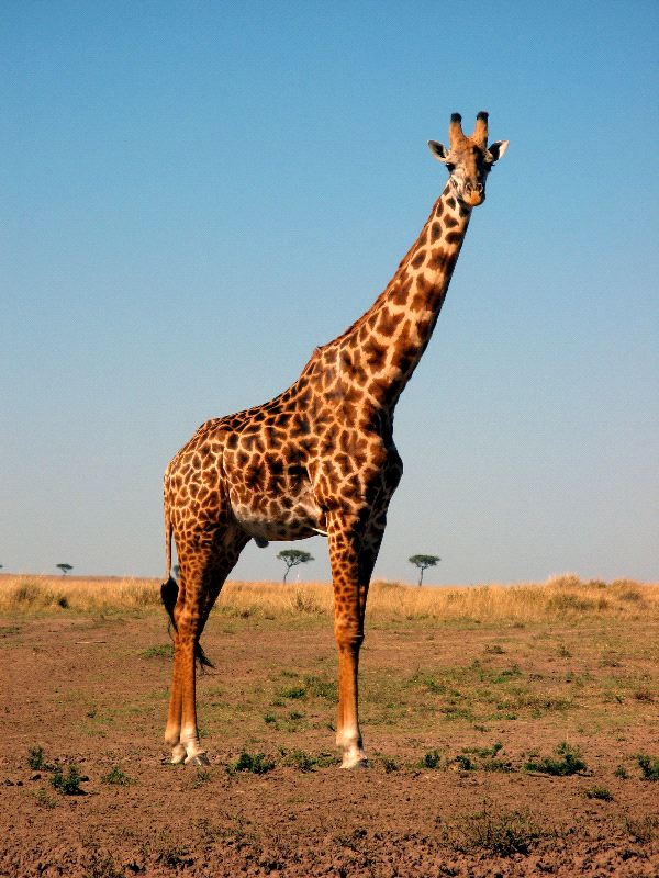 Beautiful_Masai_Giraffe_Posing_600
