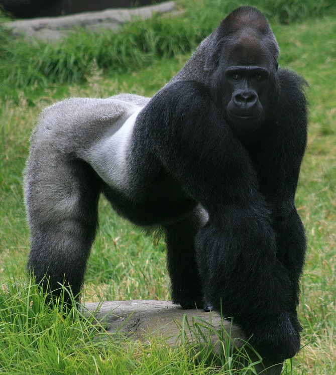 Male_gorilla_in_SF_zoo
